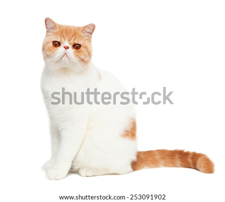 Cute orange cat looking at camera isolated on white background, sitting post  - stock photo