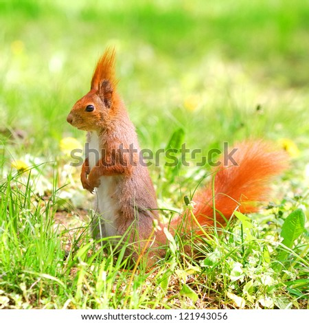 cute orange squirrel standing on the grass with flowers
