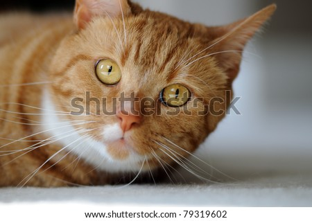 Cute orange tabby domestic shorthair cat looking up
