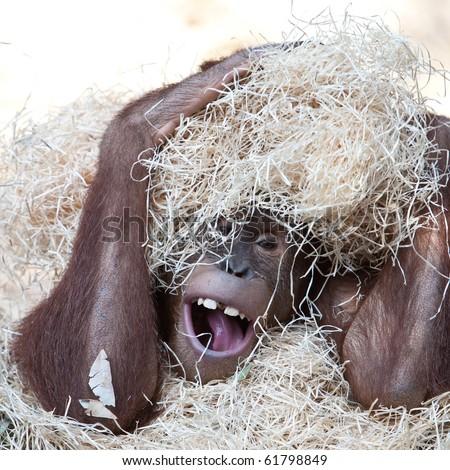 cute orangutan hiding under hay - stock photo
