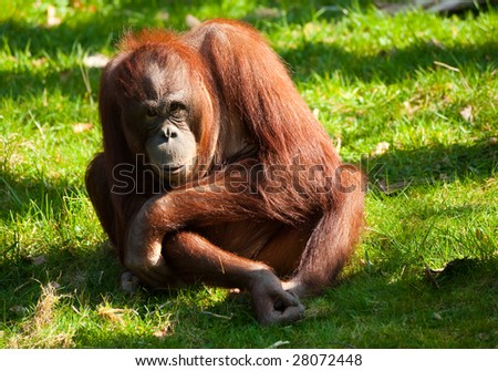 cute orangutan on the grass - stock photo