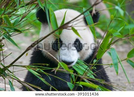 Cute panda bear eating bamboo - stock photo