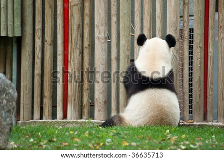 Cute panda bear sitting on a grass facing the fence of the zoo - stock photo