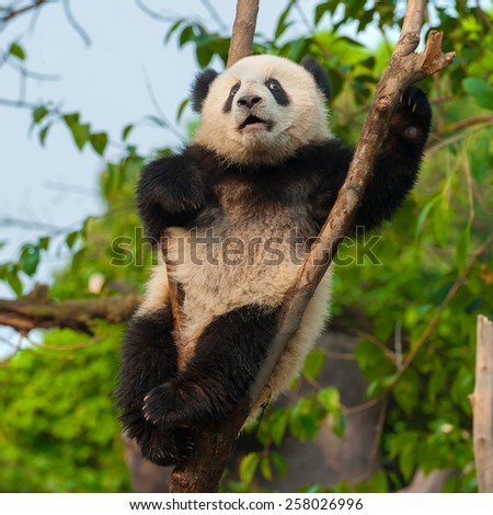 Cute panda climbing tree - stock photo