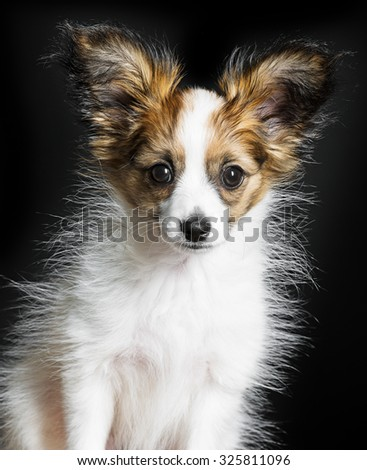 cute papillon puppy isolated over black - stock photo