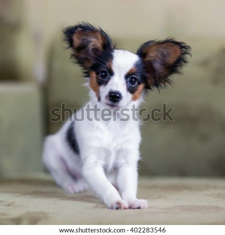 Cute Papillon puppy sitting on a sofa - stock photo