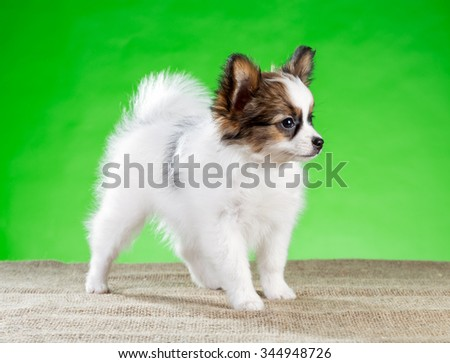 Cute Papillon puppy standing on a green background - stock photo