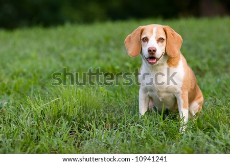 cute pedigreed beagle sitting on the grass looking at you