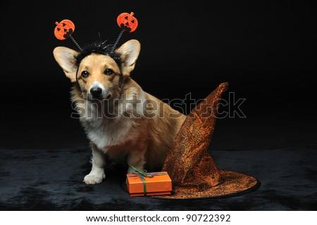 Cute Pembroke Welsh Corgi puppy wearing a halloween pumpkin headband sitting next to an orange hat and gift box - stock photo