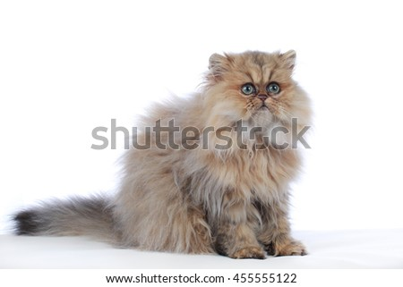 Cute persian golden shaded kitten on white background