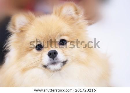 cute pet, closeup face pomeranian dog - stock photo