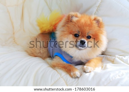 cute pet in house, pomeranian grooming dog wear clothes on bed at home - stock photo