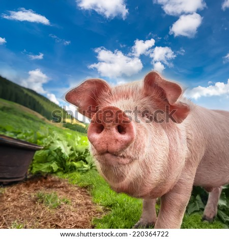 Cute pig grazing at summer meadow at mountains pasturage under blue sky. Organic agriculture natural background - stock photo
