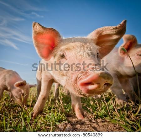 Cute pig on a pigfarm - stock photo