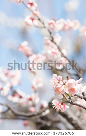 cute pink and white gradation Japanese plum under blue sky