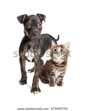 Cute Pit Bull crossbreed puppy standing with a little tabby kitten on white