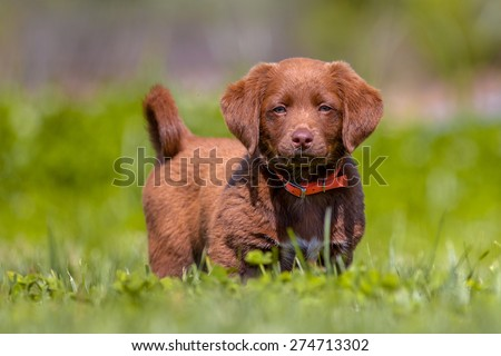 Cute playful brown puppy in a backyard lawn - stock photo