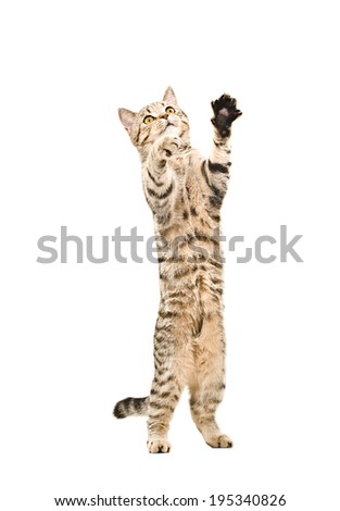 Cute playful kitten Scottish Straight standing on his hind legs - stock photo