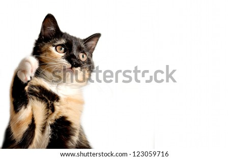 Cute playing kitten,rare tricolored tortie cat - stock photo