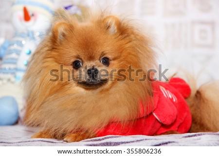 Cute pomeranian dog. Happy dog - stock photo