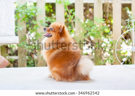 cute pomeranian dog portrait at home