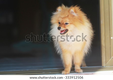 cute pomeranian dog portrait at home, puppy.