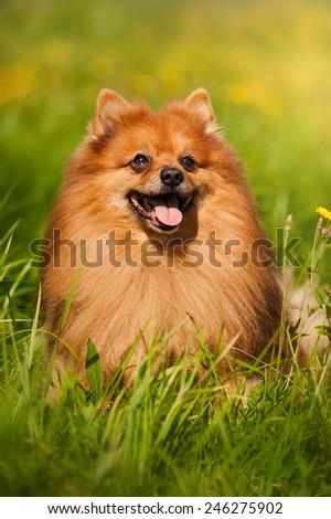 cute pomeranian dog portrait on the flowering field - stock photo