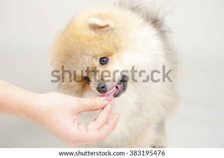 Cute Pomeranian puppy licking a hand with dog food (on a gray background, with focus on the hand) - stock photo