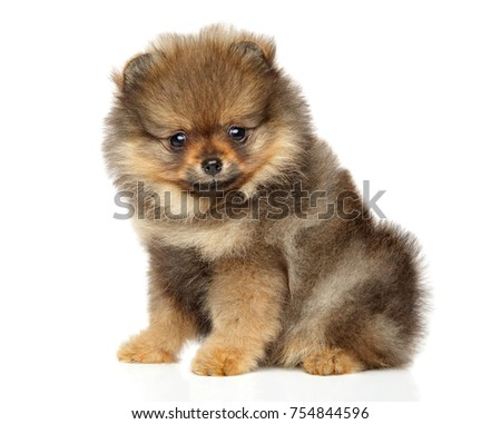 Cute Pomeranian Spitz puppy sits on white background