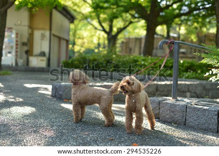 cute poodle in the park - stock photo