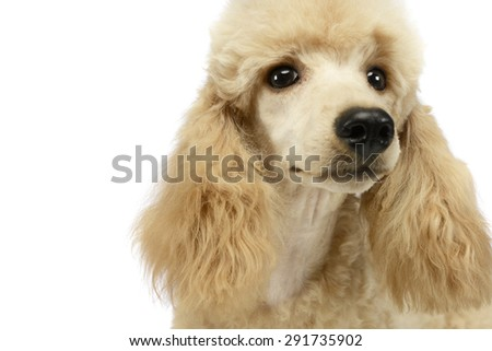 cute poodle portrait in white studio