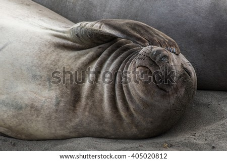Cute portrait of an elephant seal covering his eye - stock photo