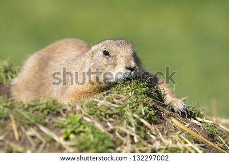 cute prairie dog - stock photo