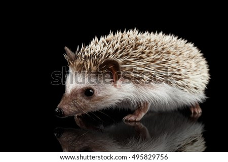 Cute Prickly Hedgehog isolated on Black Background with Reflection