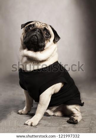 cute pug breed dog wearing a black shirt on grunge background - stock photo