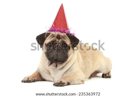 cute Pug dog with birthday hat isolated on white background