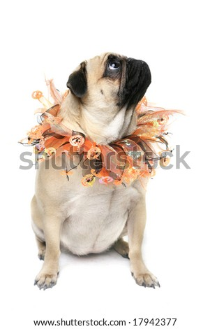 Cute Pug dressed for Halloween