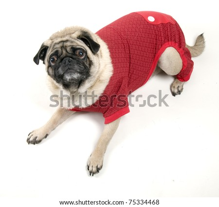Cute Pug Laying Down in Red Costume.