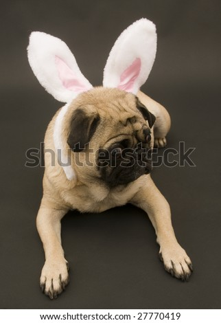 Cute Pug Laying Down with Rabbit Ears