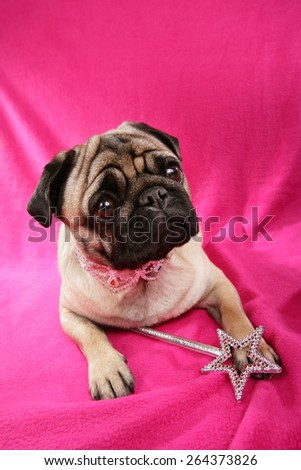 cute pug lying on pink background with glitter collar