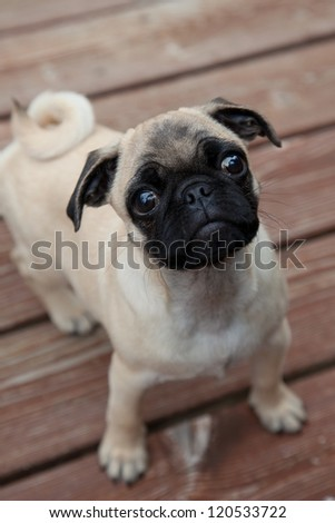 Cute pug puppy stares up toward camera with an expectant face. - stock photo
