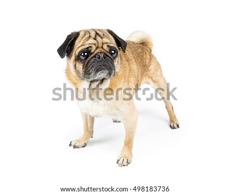Cute Pug purebred dog standing over white and looking to side
