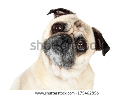 Cute Pug tilting his head and staring at the camera. - stock photo