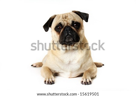 Cute Pug trying to look like a frog. - stock photo