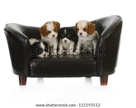 cute puppies - litter of cavalier king charles spaniel puppies sitting on a dog couch - stock photo