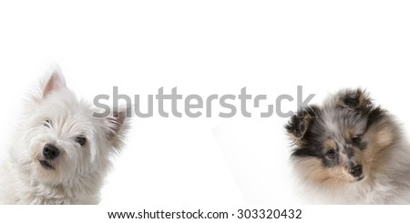 Cute puppies peeking out from the side of a white banner with room for text. The dog breeds are west highland terrier and shetland sheepdog. - stock photo