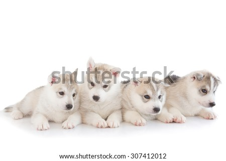 Cute puppies Siberian husky on white background - stock photo