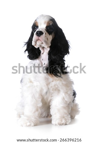 cute puppy - american cocker spaniel puppy sitting on white background - stock photo