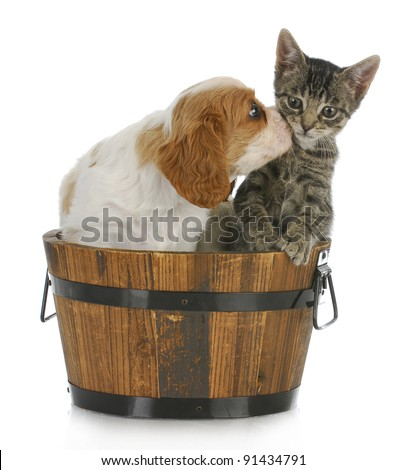 cute puppy and kitten - cavalier king Charles spaniel puppy kissing grey short haired kitten on white background - stock photo