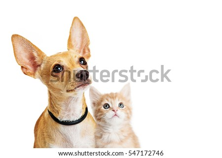 Cute puppy and kitten together looking up into blank white copy space